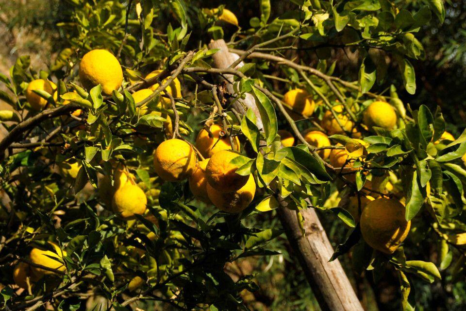 Erntereife Zitrusfrüchte zeugen von einer fruchtbaren Region