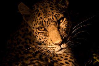 Auge in Auge mit Botswanas wilden Tieren: Leopard bei einer Nachtpirsch