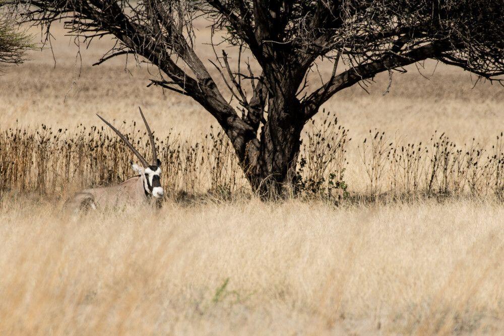 In ihrer Farbgebung eins mit der Landschaft: die Oryxantilope