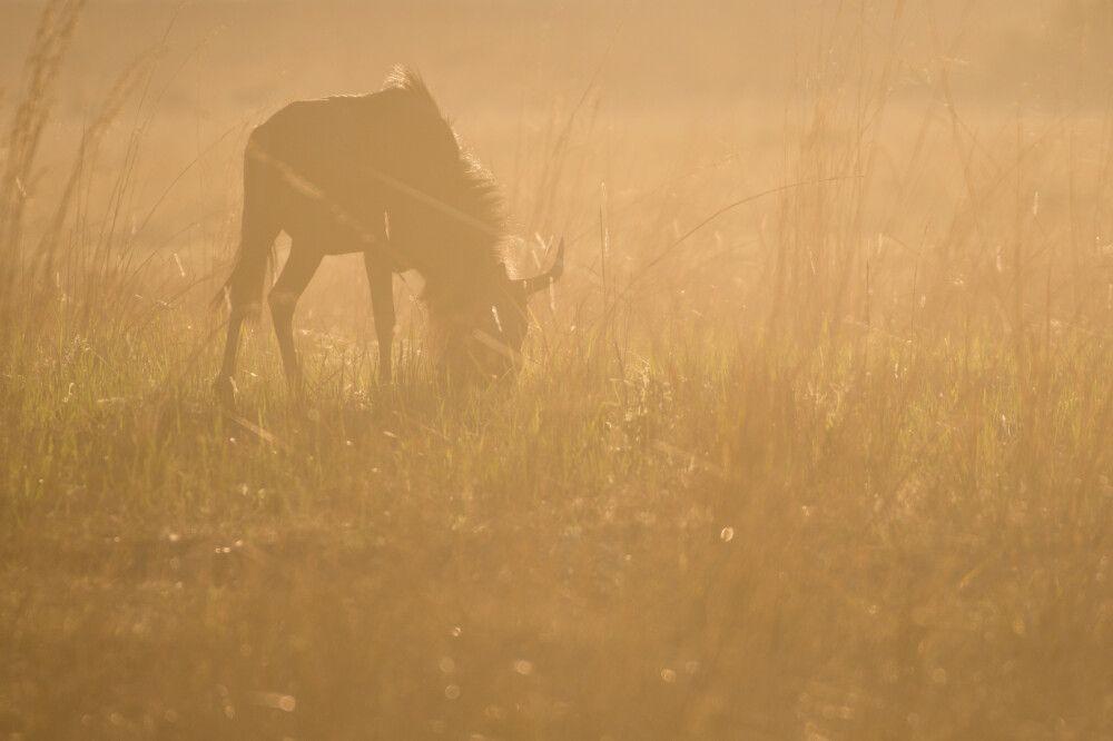 Weidendes Gnu in der Morgensonne