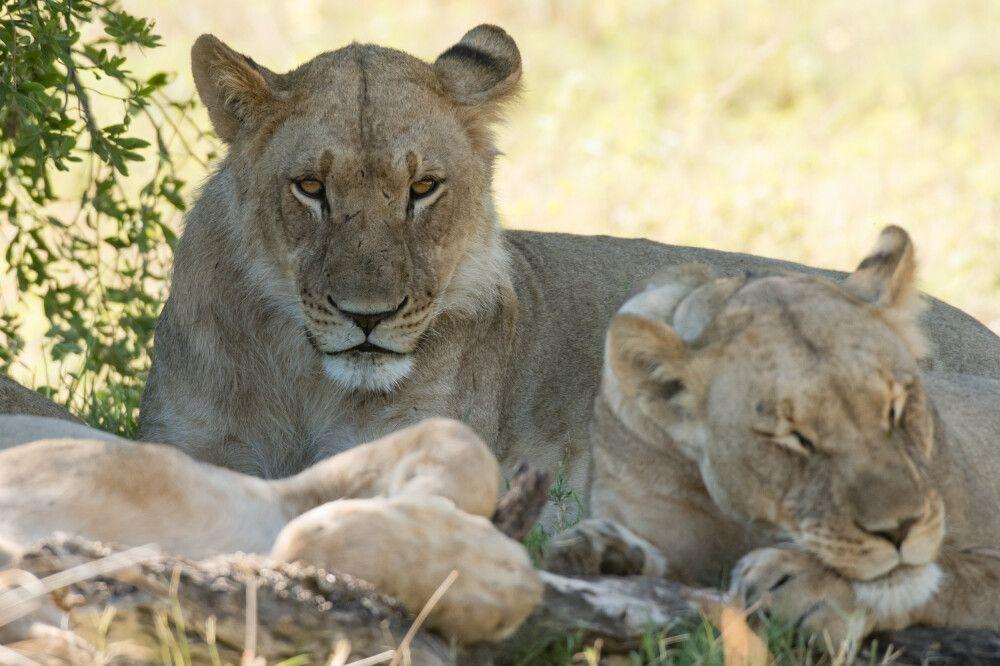 Im Schatten dösende Löwinnen