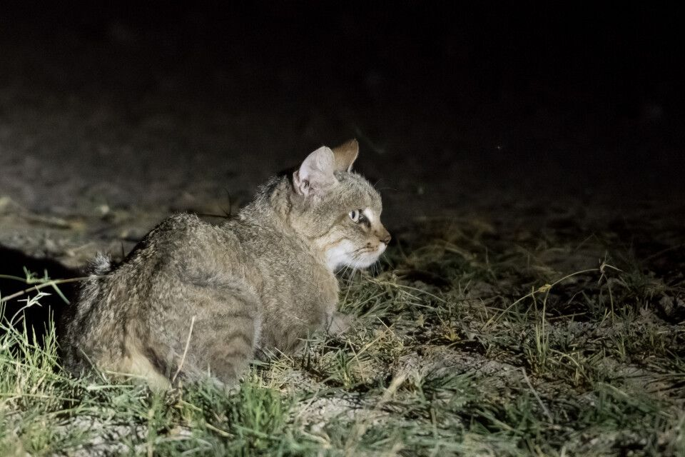 Selten zu sehen: die Afrikanische Wildkatze