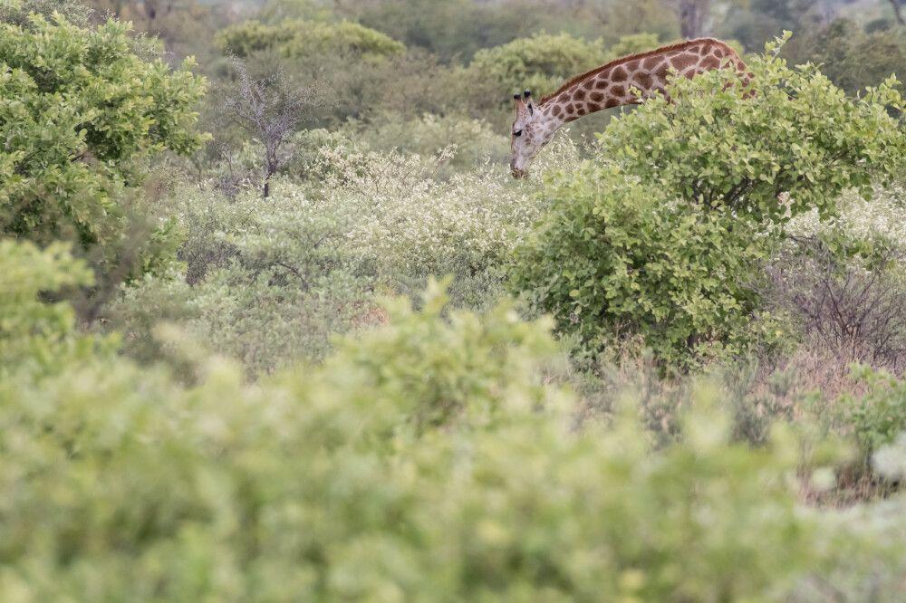 Giraffen-Suchbild – die Vegetation der Kalahari reagiert sofort auf die ersten Regenfälle der Saison