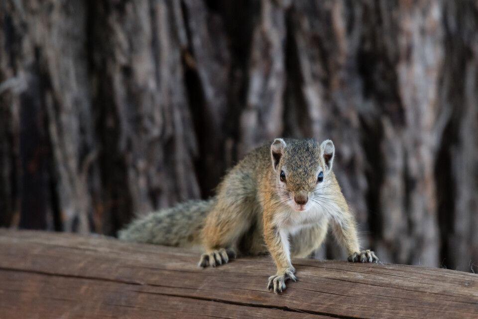 Neugieriges Baumhörnchen