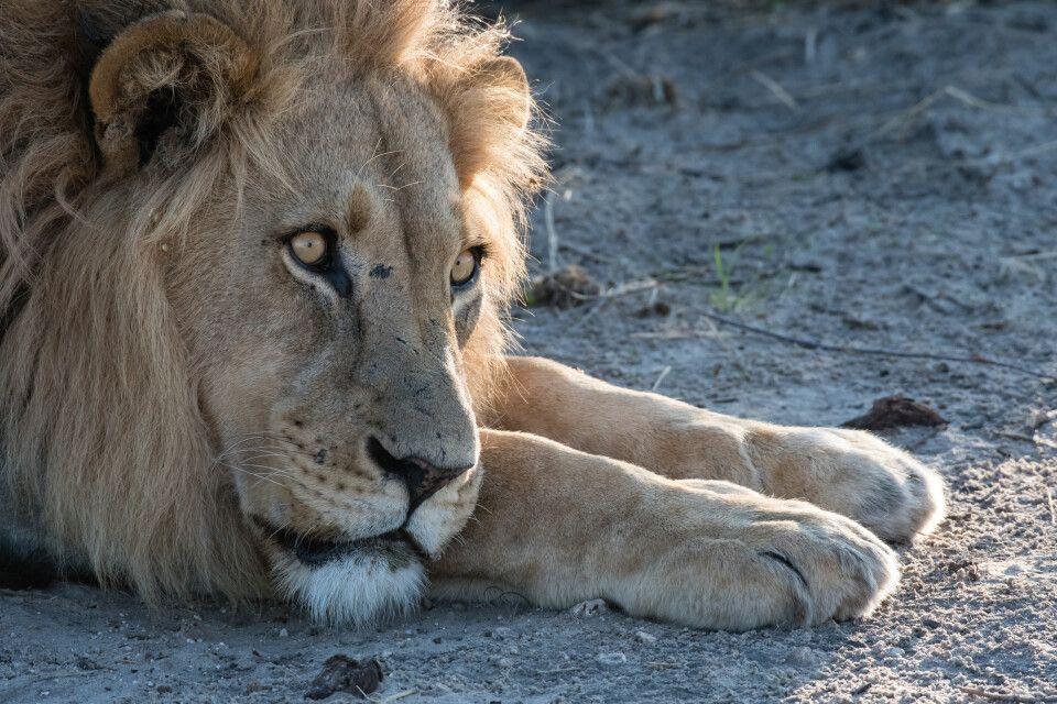 Begegnung in der Kühle des Morgens: Ein Löwe wärmt sich in den ersten Sonnenstrahlen