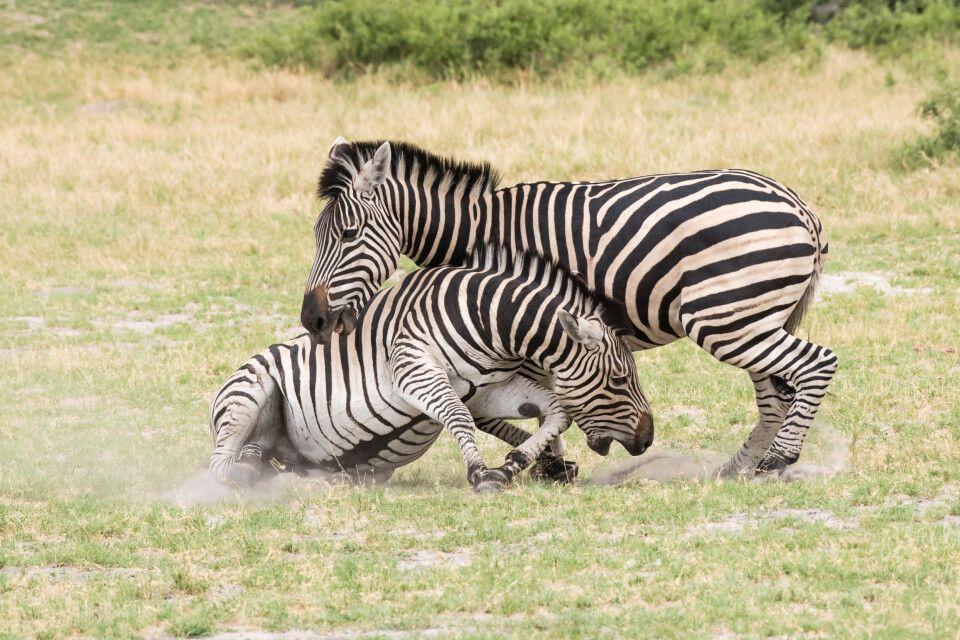 Kampfeslustig: Bei der Rauferei der Zebras versuchen die Tiere, einander in die Fesseln zu beißen