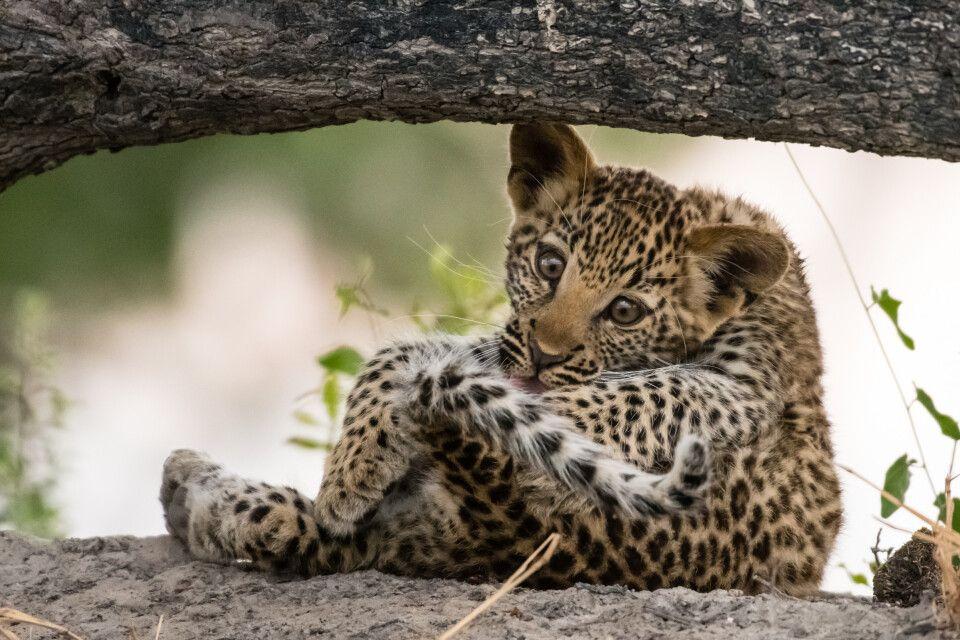 Zum Dahinschmelzen: drei Monate alter Leopard bei der Fellpflege