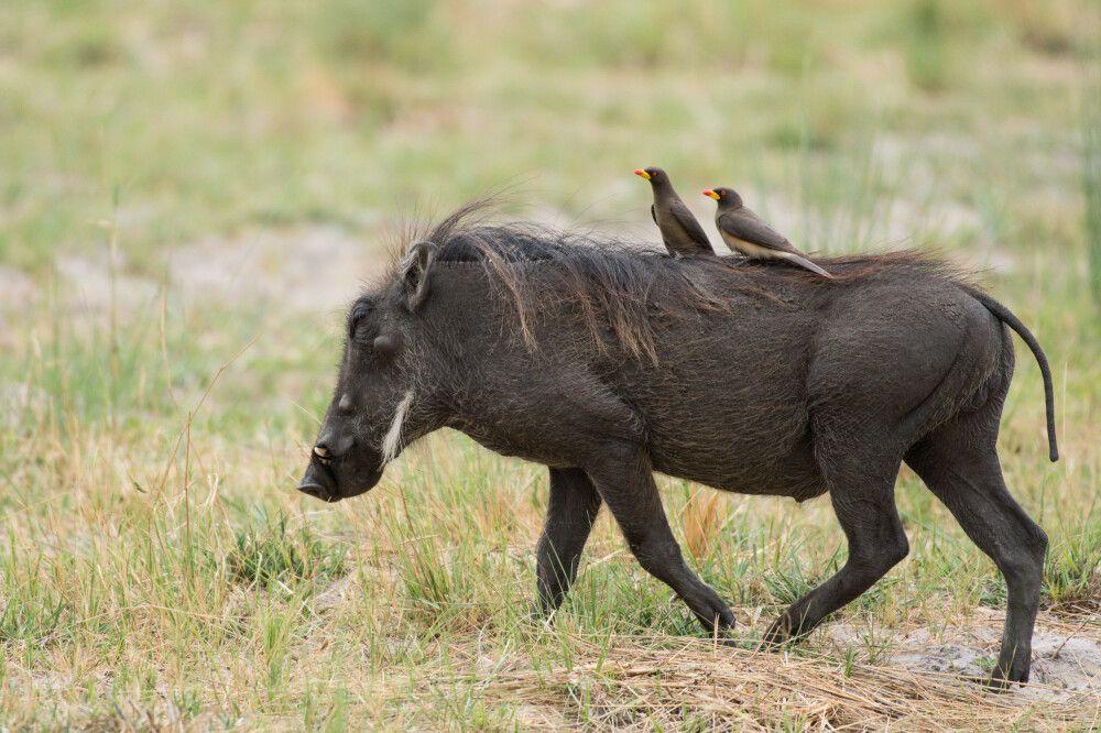 Taxi! Zwei Rotschnabel-Madenhacker reisen per Warzenschwein