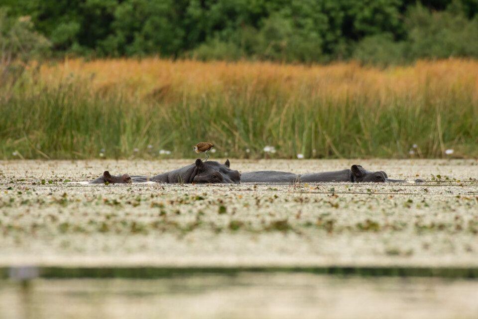 Perspektivwechsel: Aus dem Mokoro, dem traditionellen Einbaum, wirken Flusspferde noch wuchtiger – auch wenn auf ihnen ein Blaustirn-Blatthühnchen herumklettert.