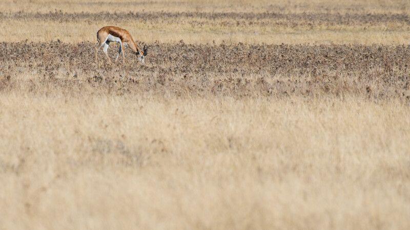 Kalaharifarben – ein Springbock grast in der Savanne © Diamir
