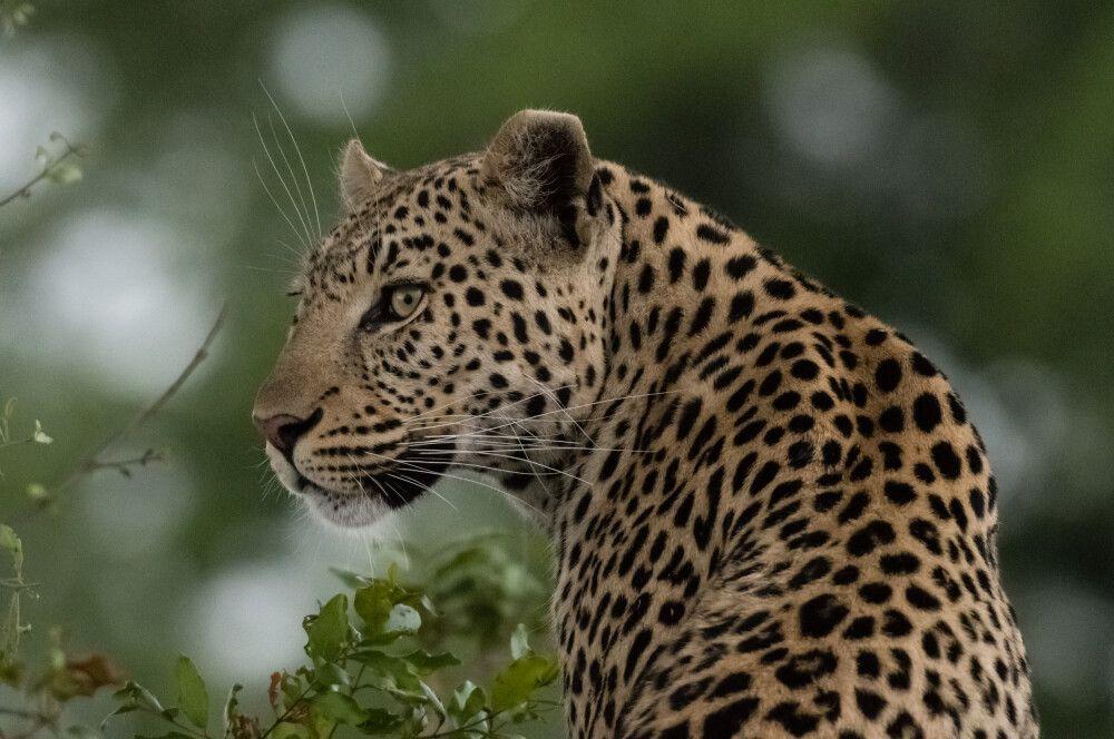 wachsamer Leopard