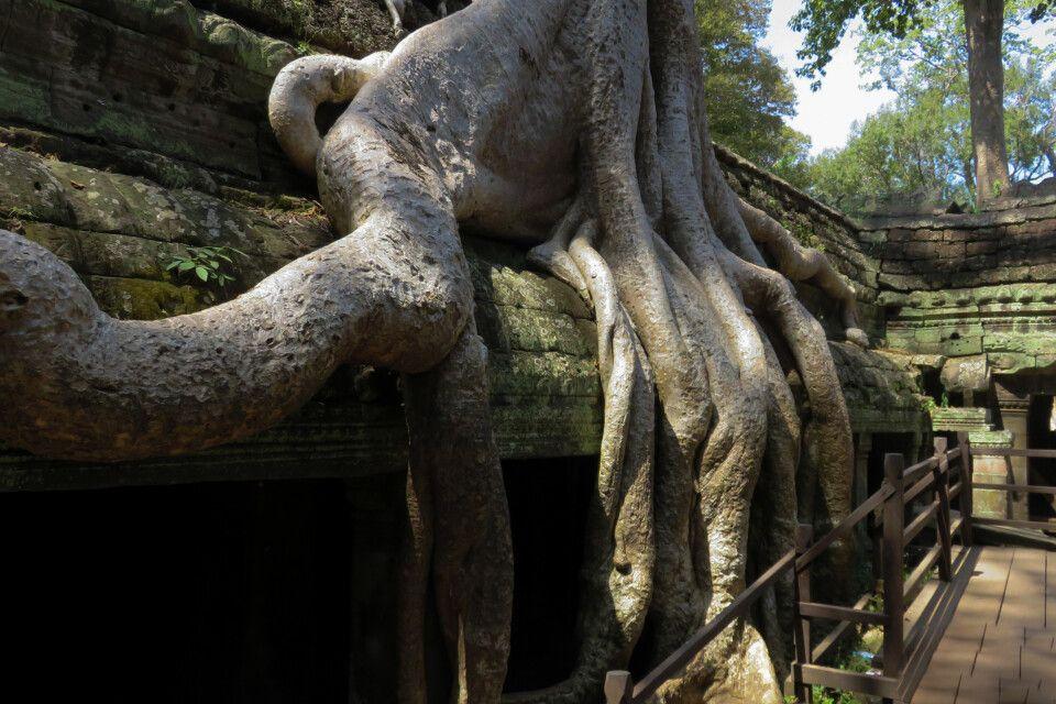 Die großen Würgefeigen im Tempel Tha Prohm