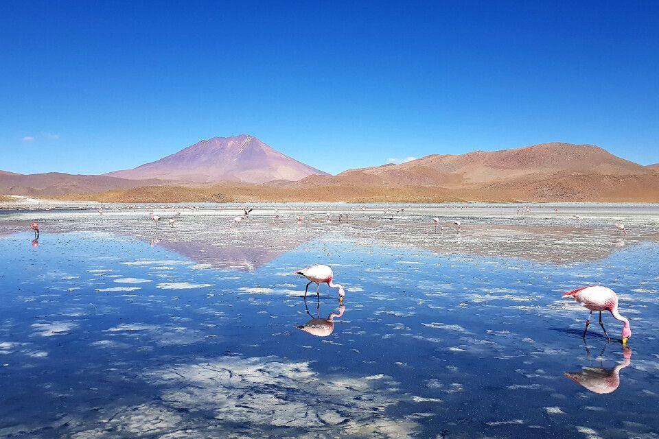 Flamingos in einer Lagune im bolivianischen Altiplano