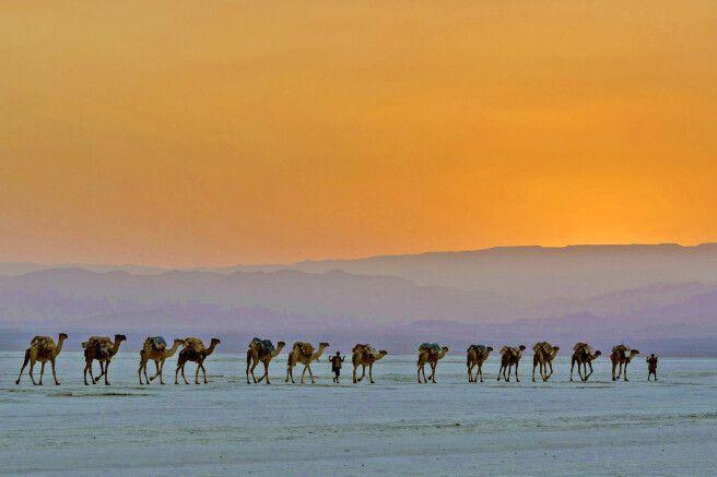 Kamelkarawane in der Danakil-Wüste