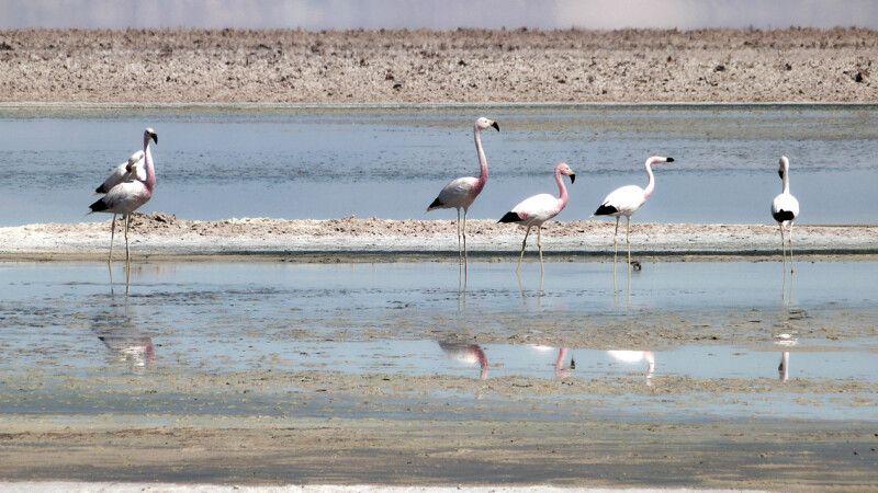 Flamingos im Atacama-Salzsee © Diamir
