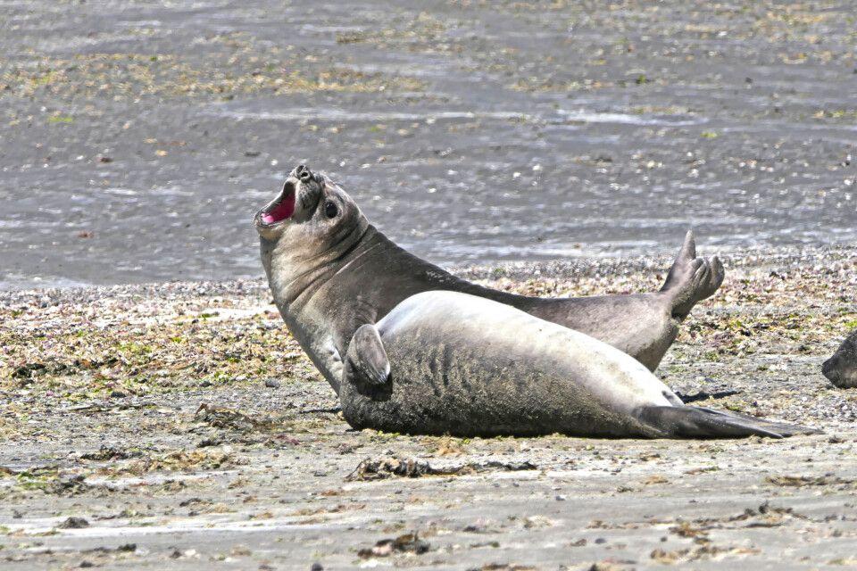 Seelöwen am Strand auf der Halbinsel Valdes