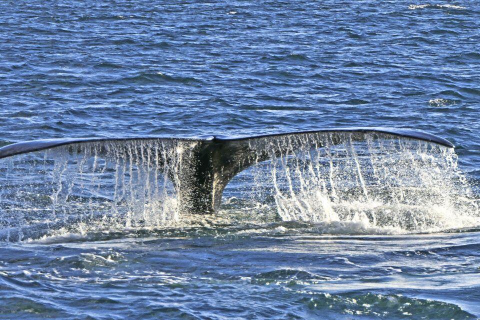 Walfluke vor der Halbinsel Valdes