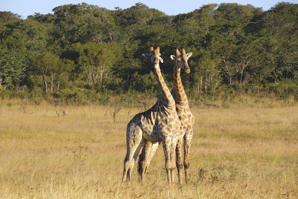 Giraffen hautnah