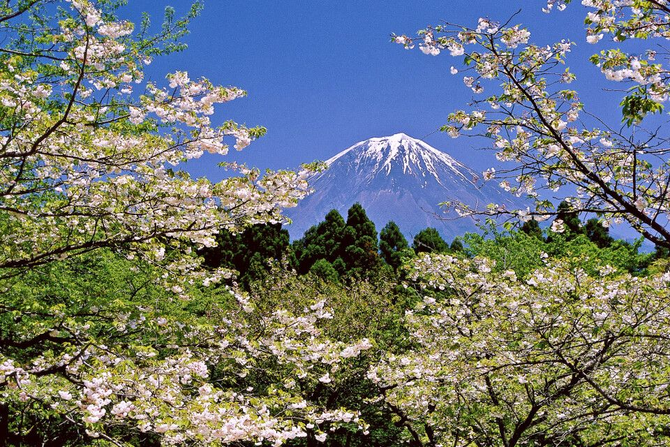Blick auf den Fuji-san zur Kirschblüte in Shizuoka