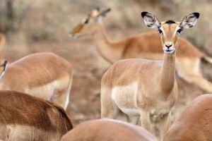 Impalas, Krüger-Nationalpark, Südafrika