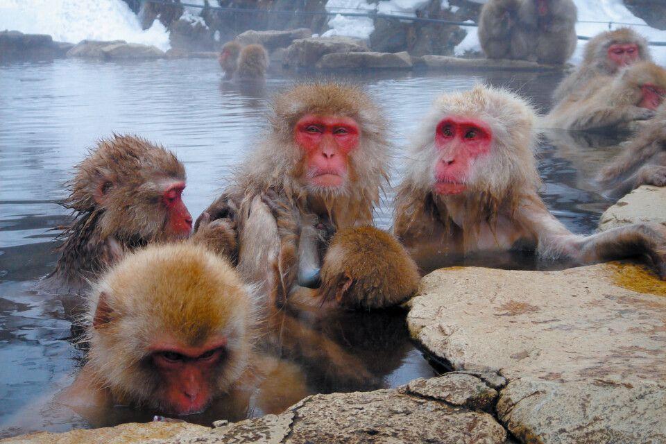 Schneeaffen entspannen im Thermalbad