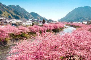 Kirschblüte im Februar am Fluss Kawazu
