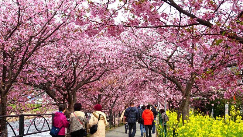 Kirschblüte im Februar am Fluss Kawazu © Diamir