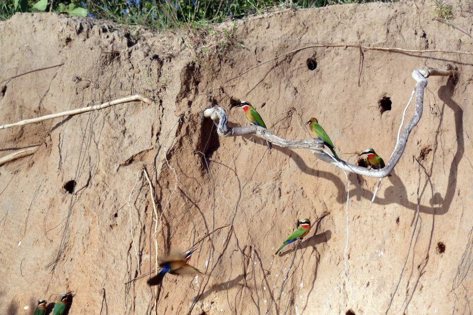 Bienenfresser am Rufiji-Steilufer
