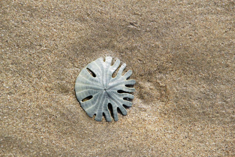 Sanddollar am Strand von Bata