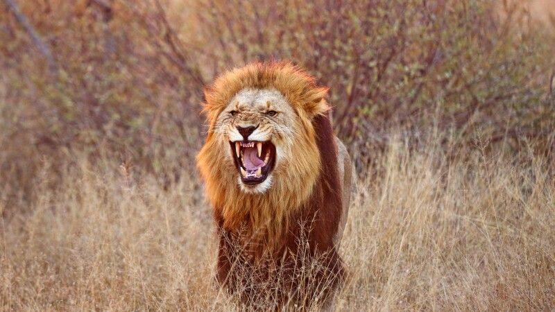 Löwe im Krüger-Nationalpark © Diamir