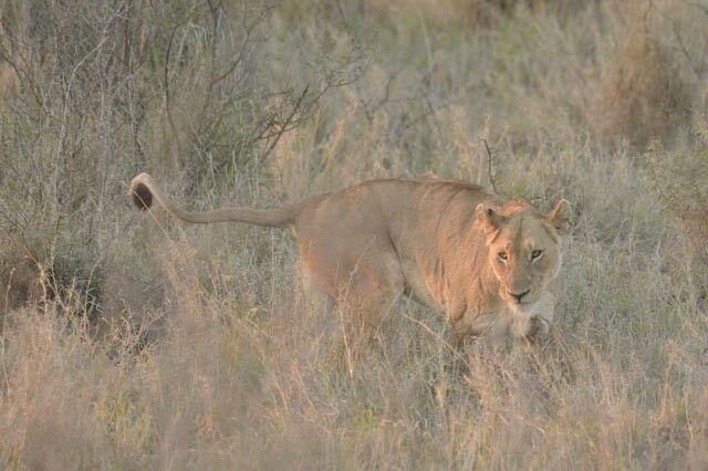 Löwin im Krüger-Nationalpark