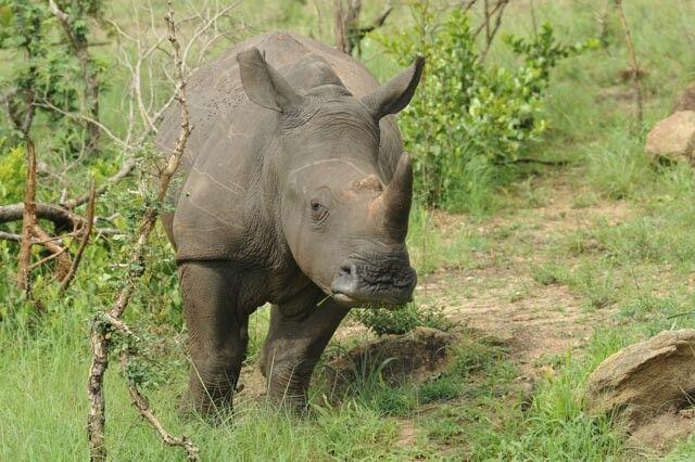 Nashörner im Hluhluwe-iMfolozi-Nationalpark