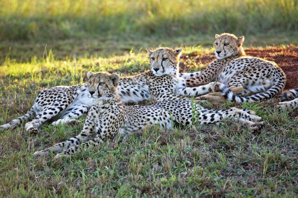 Geparden: grazile Jäger