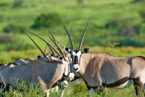 Oryx-Antilopen im Kgalagadi Transfrontier Park