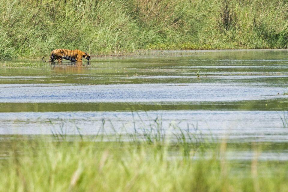 Im Reich des bengalieschen Tigers