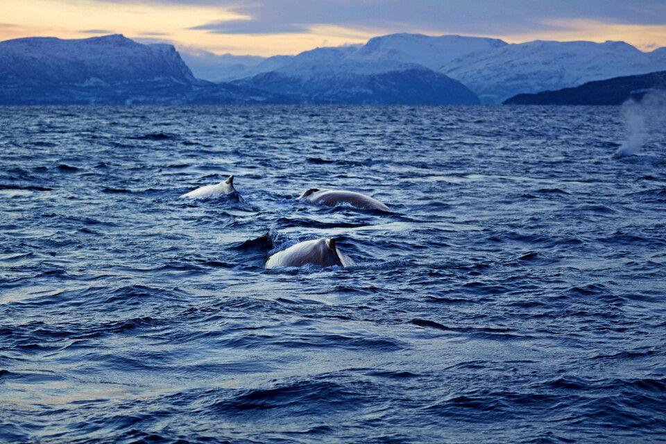 Gruppe Buckelwale