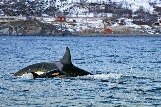 Orca mit Jungtier