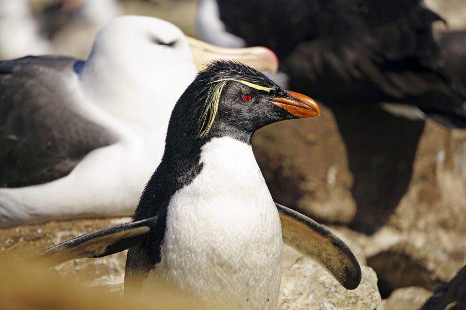 Felsenpinguin in einer Albatros-Kolonie