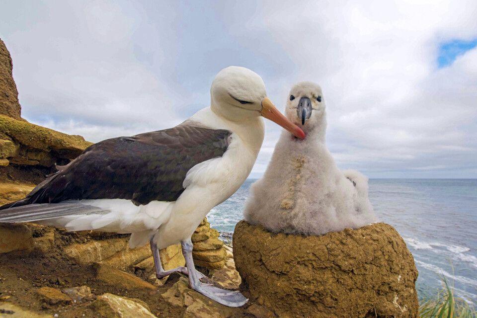 Schwarzbrauen-Albatros mit Küken