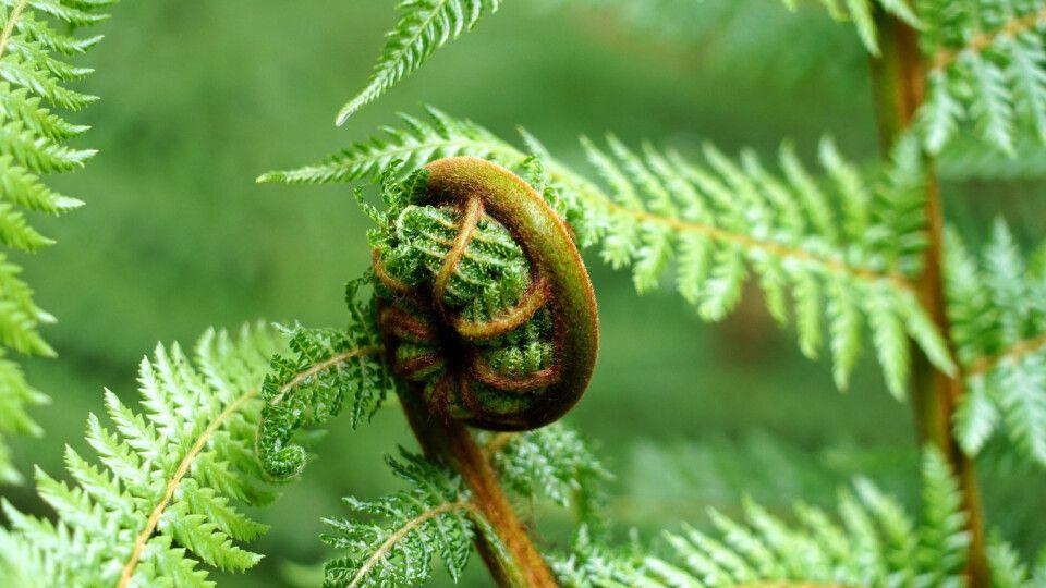 Der Silberfarn ist Neuseelands Nationalpflanze und immer toll anzuschauen.