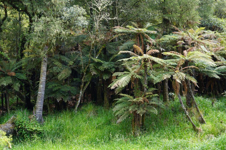 Die Vegetation Neuseelands ist einzigartig, zum Teil endemisch und abseits der Touristenpfade fast undurchdringlich.