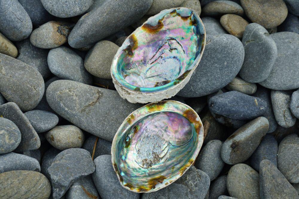 Die Paua-Muschel findet man in klaren Gewässern vor der Küste Neuseelands.