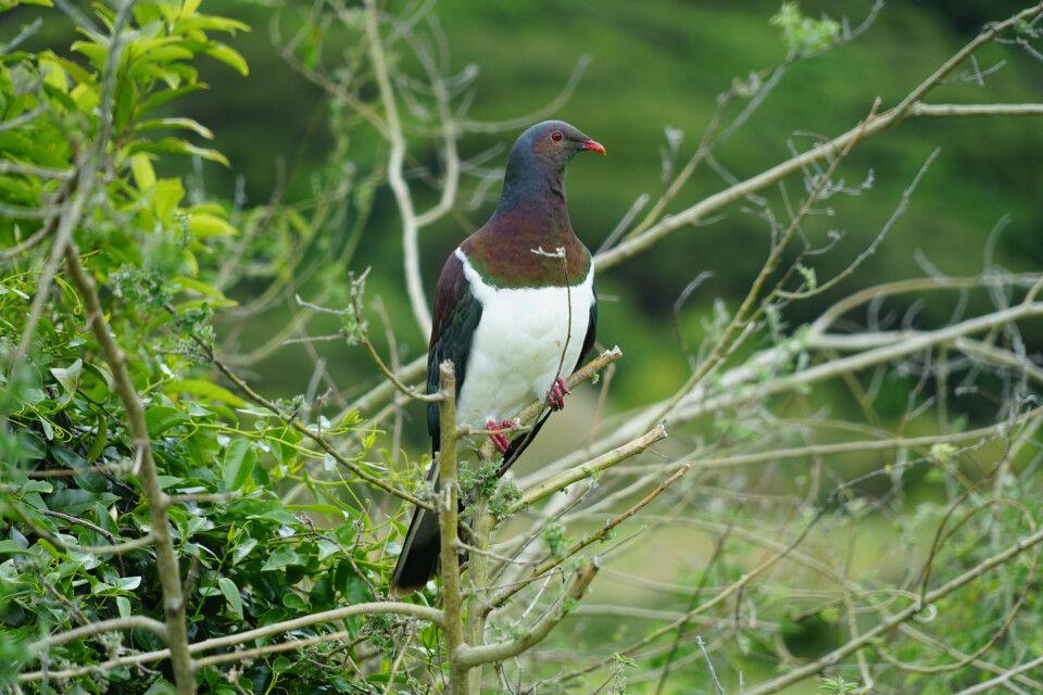 Die farbenfrohe Maori-Fruchttaube – für Ornithologen ist Kapiti Island ein Paradies.