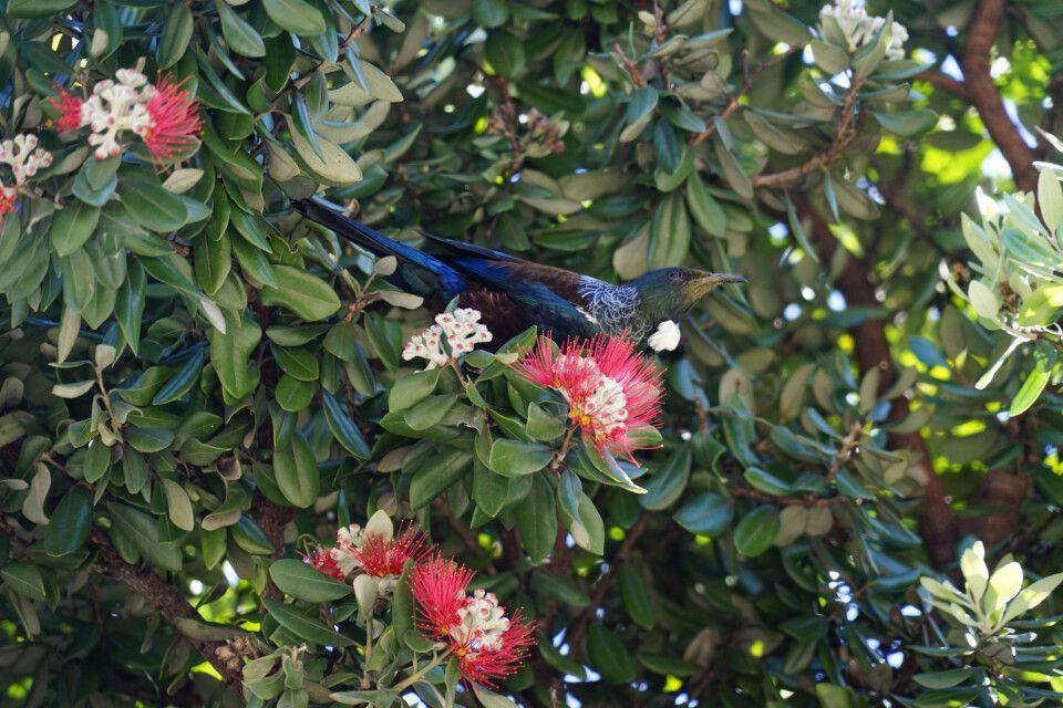 Hier im Bild ein Tui, ein kleinen Singvogel, der zur Familie der Honigfresser gehört.