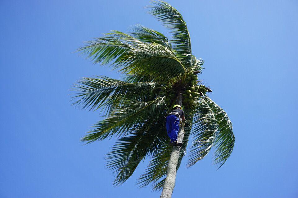 Wie wird eine Kokosnuss gepflückt?