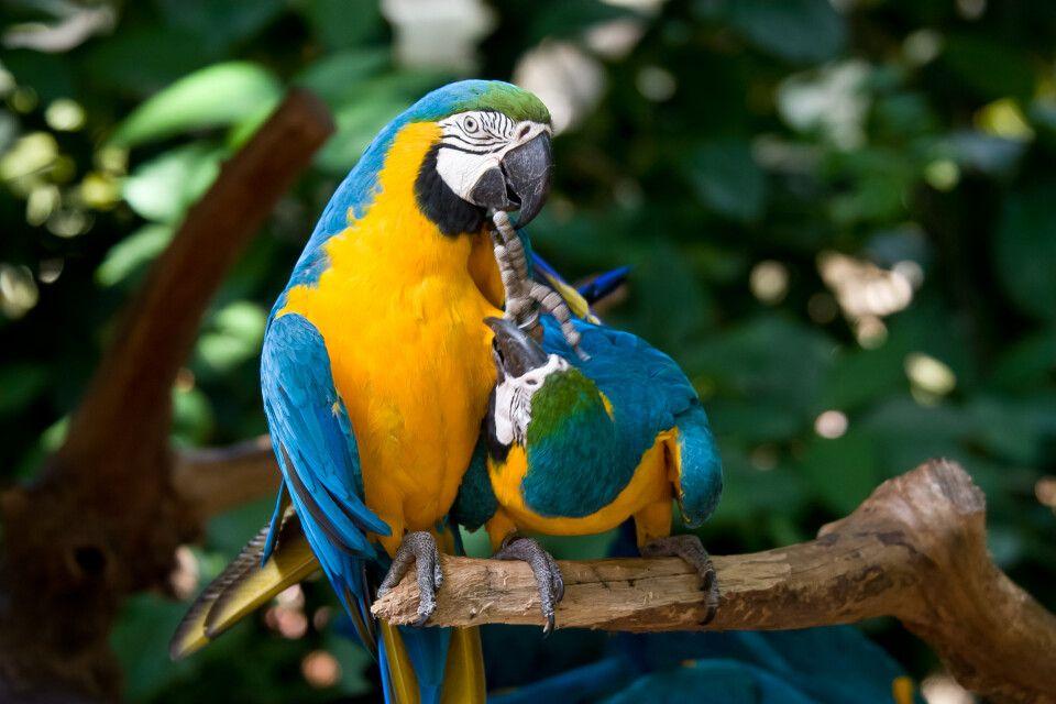 Aras im Vogelpark Parque das Aves an den Iguazu-Wasserfällen auf der brasilianischen Seite
