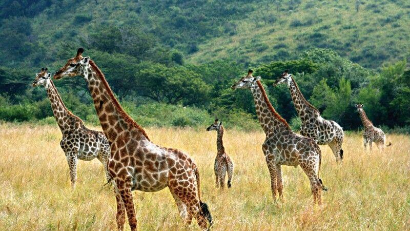 Giraffenfamilie © Diamir