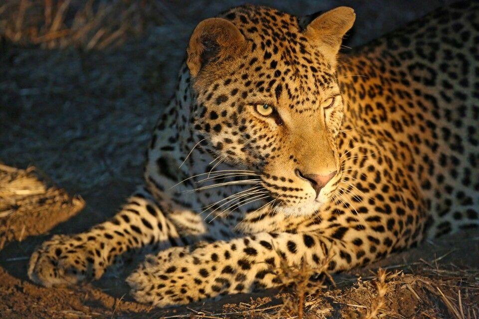 Für viele die schönste Katze, der Leopard
