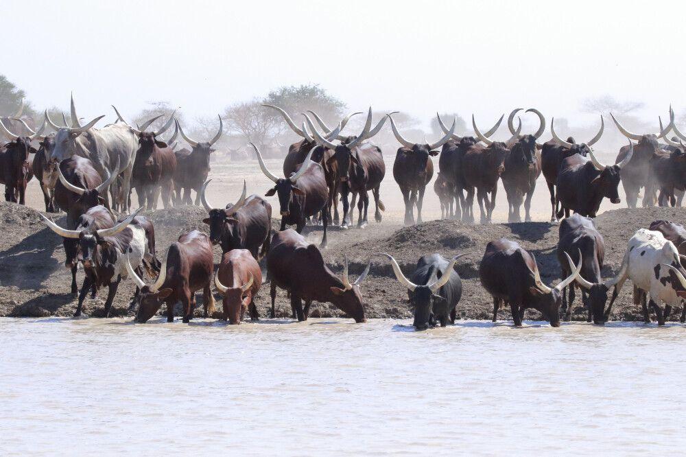 In Grasebenen des Sahel lebt die Bevölkerung vor allem von der Rinderzucht.