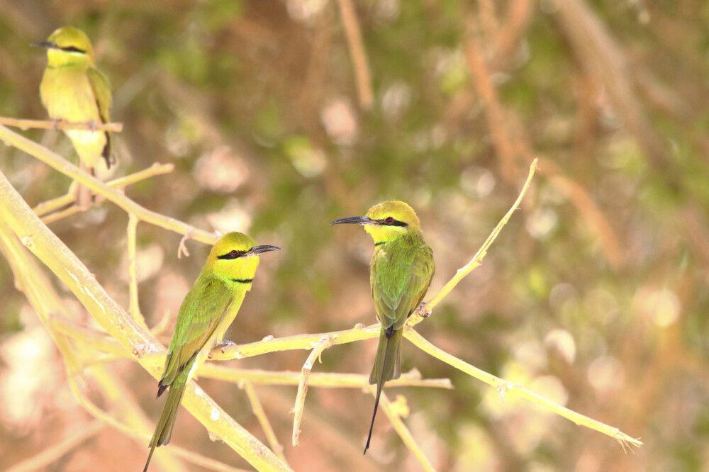 Smaragdspinte (Merops orientalis)